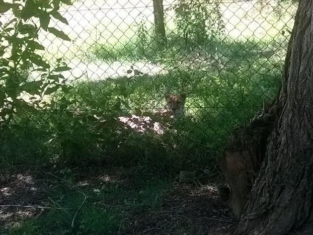 Leopardo Zoo Pombia