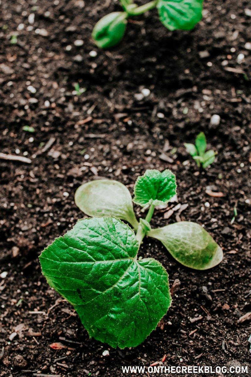 Squash plant!