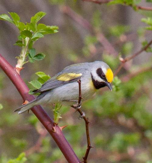 Bird World - Image of Golden-winged warbler - Vermivora chrysoptera