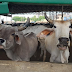 Gurgaon residents to get pure and unadulterated cow milk