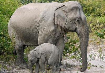 Sisakan Bangkai Tak Berkulit Begini Sadisnya Pemburu Gajah di Myanmar