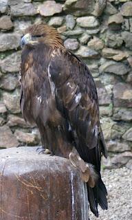 Aigle royal - Aquila chrysaetos