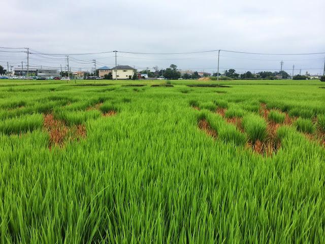 こしがや田んぼアート2014南越谷阿波踊り(8/9)