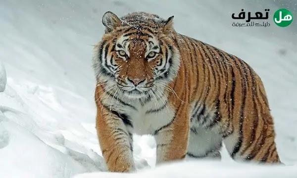 ما الفرق بين النمر والفهد
