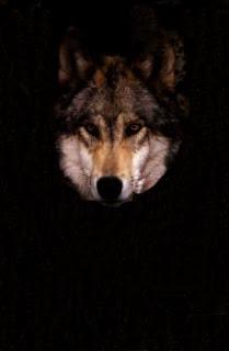 Ma'iingan wolf