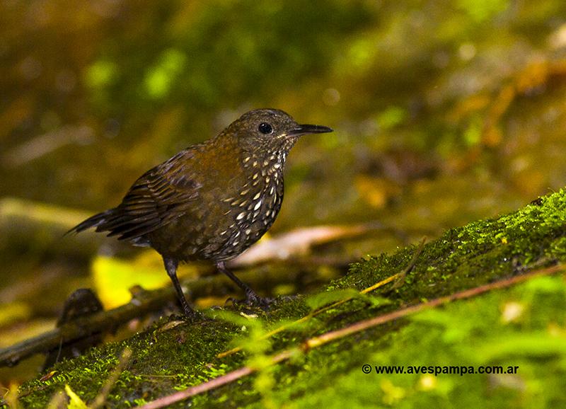Pássaro João-Porca (Lochmias nematura)