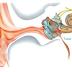Cara Membuat Minyak Bawang Putih Sebagai obat Infeksi Telinga