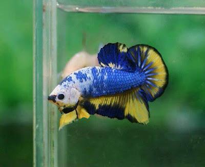Ikan Cupang Fancy HMPK