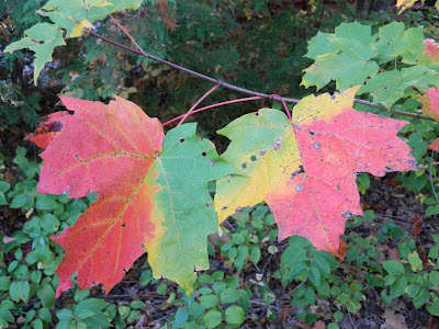 Variation in autumn maple leaf colours Lake Muskoka Thanksgiving 2012 by garden muses- a Toronto gardening blog