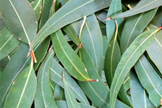 Eucalyptus leaves before essential oil extraction