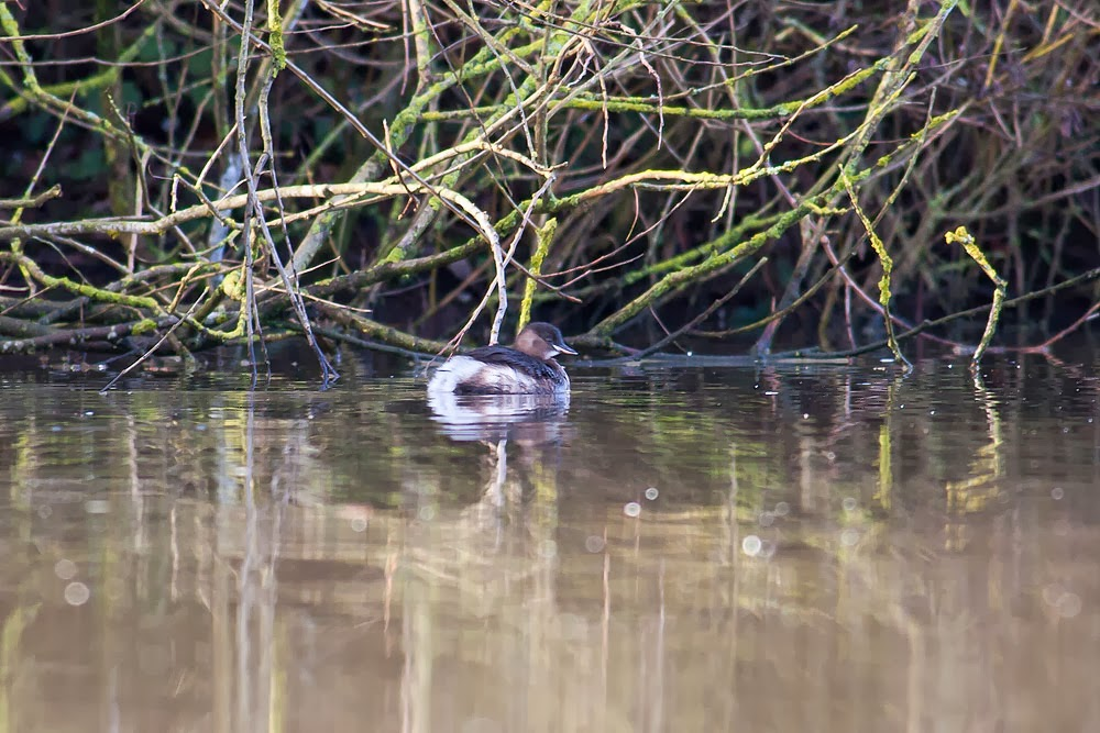 Little Grebe at the very edge of the lake