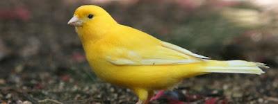Mengetahui Ciri Dan Tanda Burung Kenari Yang Selesai Mabung