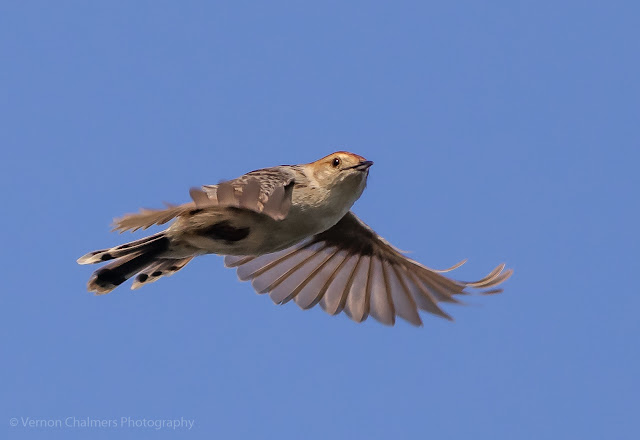 Cisticola in flight over the Diep River, Woodbridge Island