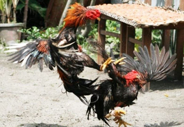 15+ Cara Merawat Ayam Bangkok yang Baik dan Benar