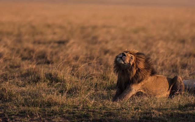 Trung tâm bảo tồn miền trung Kalahari là một vườn quốc gia xuyên biên giới. Nơi đây là điểm sinh sống của rất nhiều loại động vật đặc trưng của châu Phi như: linh dương, linh cẩu… và dĩ nhiên không thể thiếu những chú sư tử Kalahari – những vị chúa tể của hoang mạc. Tại đây, bạn có thể dễ dàng nghe thấy tiếng gầm của những chú sư tử vào mỗi xế chiều khi đang đi dạo trên những đồng cỏ Botswana.