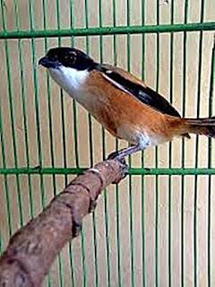 Burung Cendet - Kayu Tangkringan yang Menyeimbangkan Proses Perkawinan Burung Cendet - Penangkaran Burung Cendet