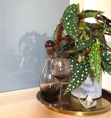Begônia maculata