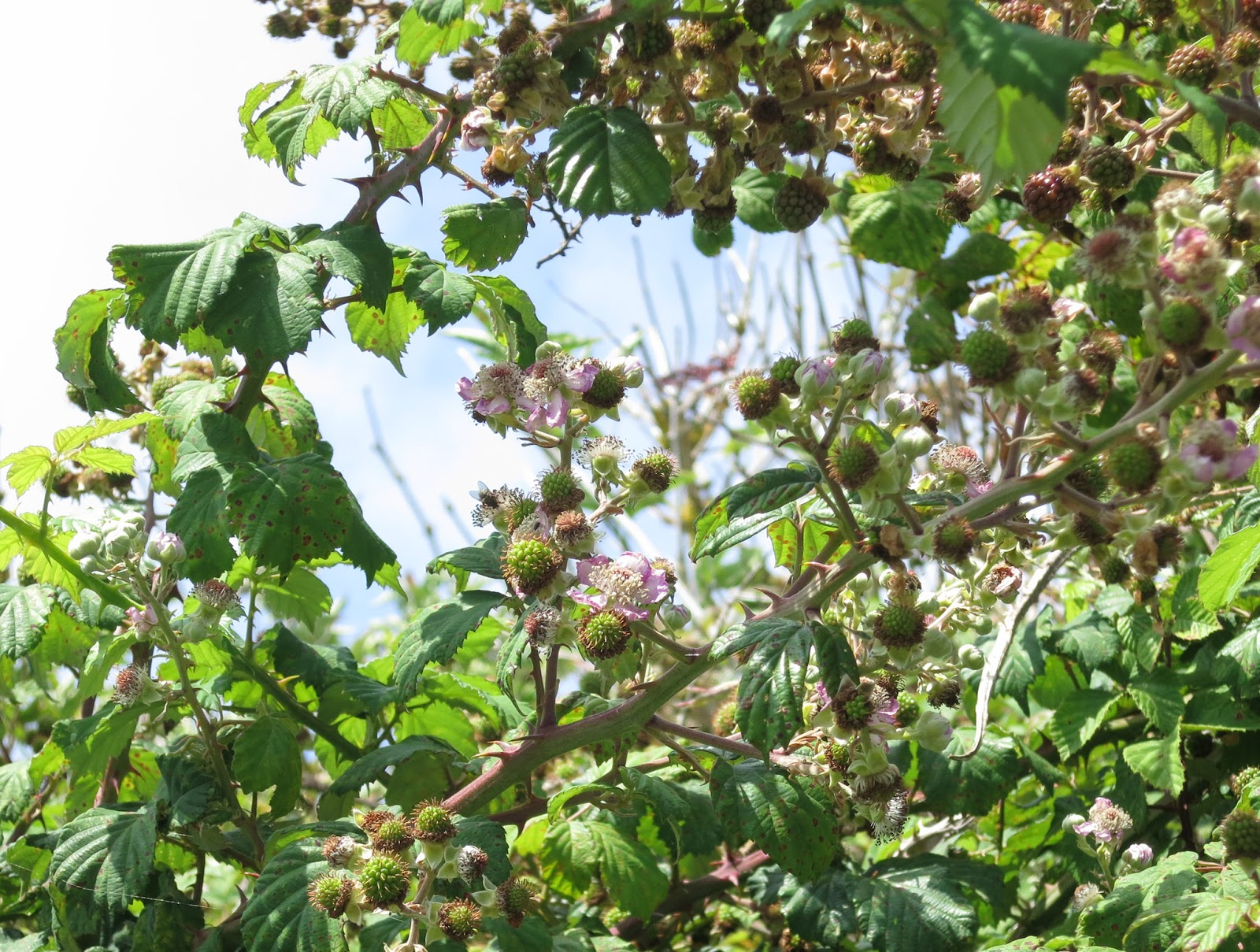 Blackberries (leaves and flowers and unripe fruit) circling blue sky