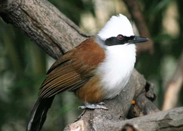gambar burung poksay