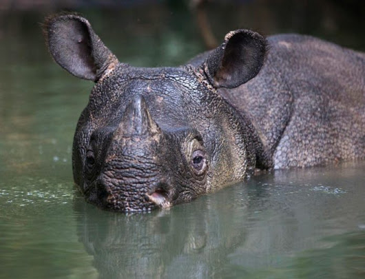 Concern Grows For 68 Endangered Javan Rhinos After Indonesia's Tsunami