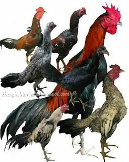 Cara beternak ayam aduan khusus pemula