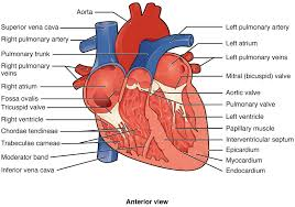 HUMAN HEART : Location and Structure of Human Heart details