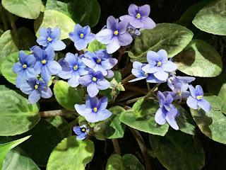 Saintpaulia - Violette africaine - Saintpaulia ionantha - Violette du Cap