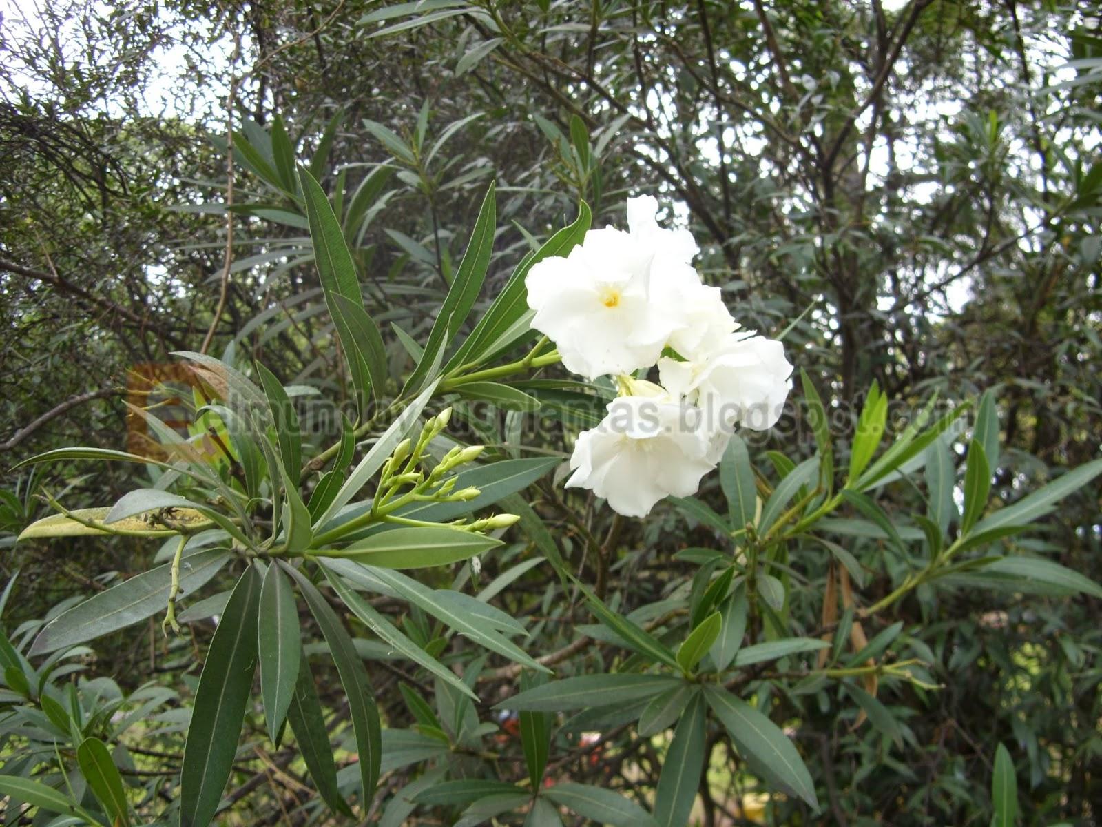 Fotos de plantas el mundo y sus plantas - Laurel de jardin ...