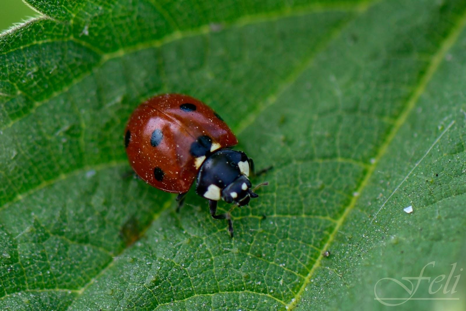 El objetivo de Feli: Coccinella septempunctata