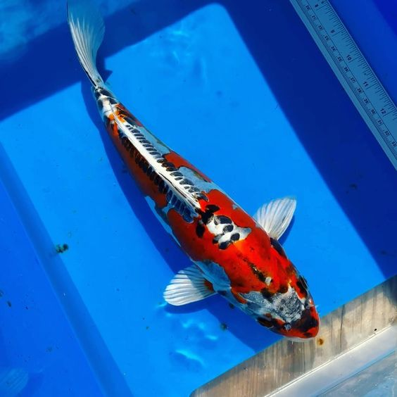 Ikan Koi Kikokuryu