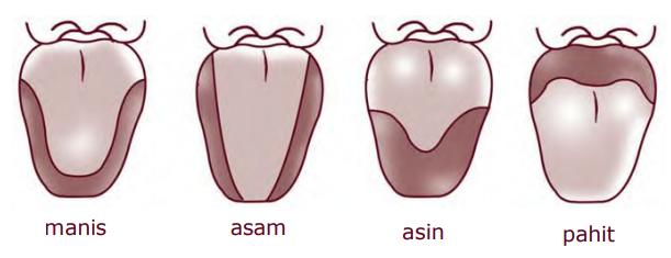 Penyebaran daerah rasa pada permukaan lidah