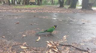 Australijskie ptaki w deszczu