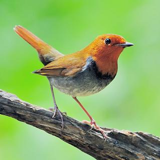 Suara burung komadori atau robin jepang