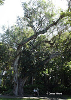 Ficus tree, Foster Botanical Garden - Honolulu, HI