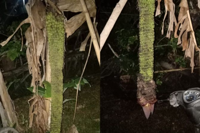 Unik! Pohon Pisang di Bone Berbuah Ribuan dengan Panjang Hampir 2 Meter