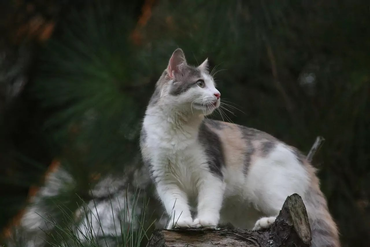 History of Domestic Cats