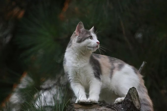 A Brief  History of Domestic Cats