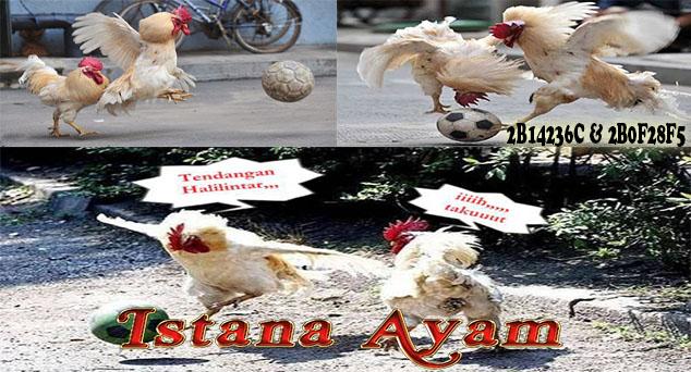 Lucu Ayam Potong
