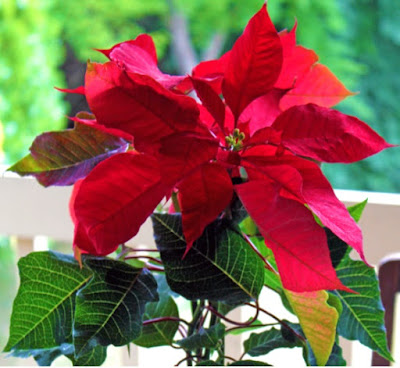 Poinsettias are a gift from our Creator and associated with Jesus