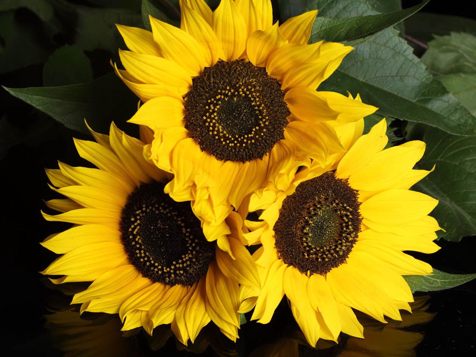Desktop Wallpapers Sunflowers Desktop Wallpapers