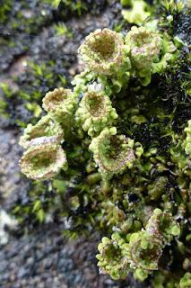 Cladonie à pyxide - Lichen pixydé - Cladonia pyxidata