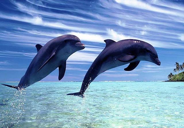 lumba-lumba cantik