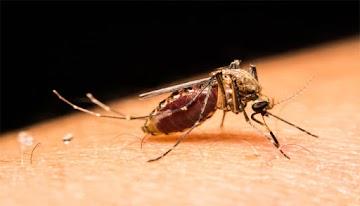 Mosquitos mutantes é mais resistentes, e seus danos à saúde é desconhecido