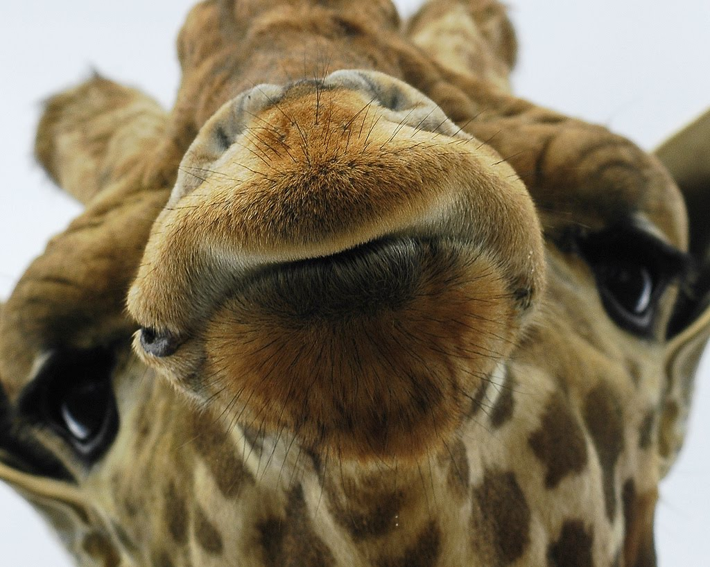 Animal Free Wallpapers: Animal Giraffe Free Wallpapers