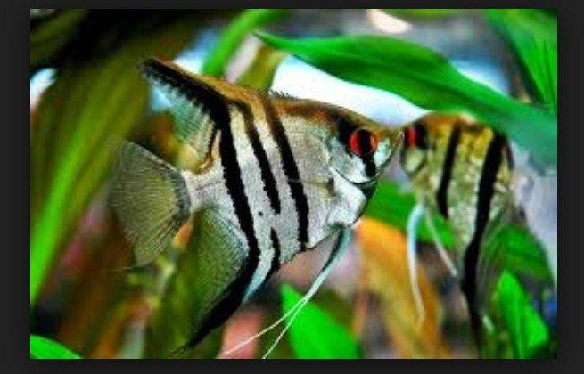 Gambar Ikan Manfish