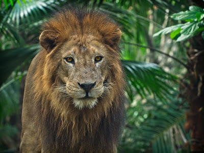 Nature Lion 4k HD Wallpapers