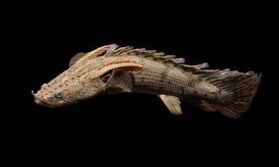 15 Jenis Ikan Hias Palmas Si Predator Perenang Dasar Aquarium