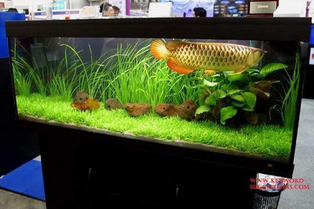 Gambar Foto, Cara Merawat Ikan Arwana Di Dalam Akuarium Interior