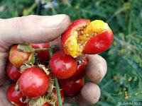 solanum sisymbriifolium owoce