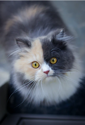 What About Persian Cats